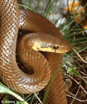 It is thought the snakes' ancestors may have escaped from London Zoo (file photo)