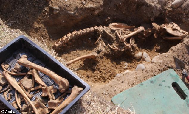 Discovery: These remains of a giant dog were found during a dig among the ruins of Leiston Abbey in Suffolk