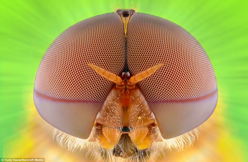 The images were shot using a photography technique known as focus stacking, also known as focus blending, which combines multiple shots of the same subject, taken at different focal distances. Sauw was able to capture extreme close-ups, including this shot of a soldierfly, by placing his camera 4-inches (10cm) away