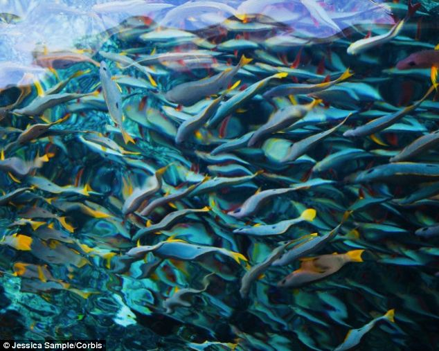 An expert said that fish (pictured) have very good memories, live in complex social communities where they keep track of individuals and can learn from one another. They develop cultural traditions and can even recognise themselves and others