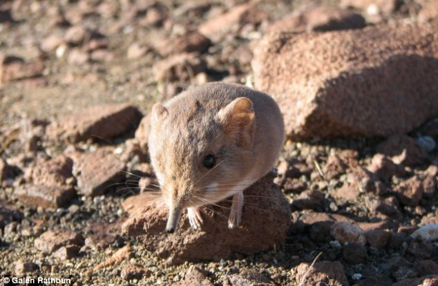Cute: Scientists have discovered a new species of elephant shrew - or round-eared sengi (pictured) - in the remote deserts of south western Africa