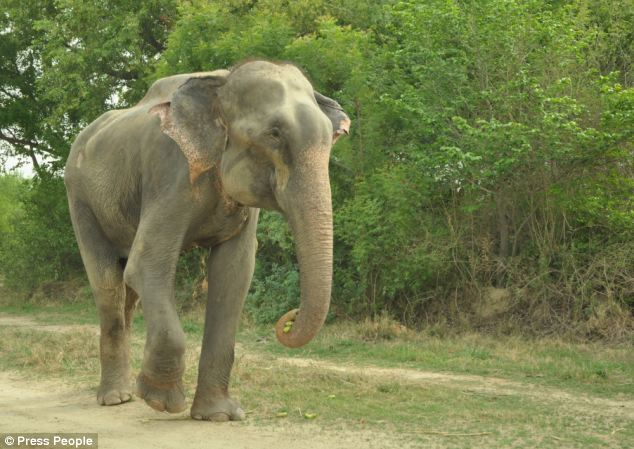 Raju the elephant was said to cry tears of joy as he was released from spiked shackles in the Uttar Pradesh area of India after fifty years of torture