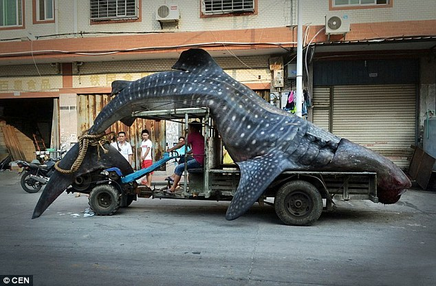 All in a day's work: Cai Chengzhu was fishing in Xianghzhi, eastern China, when he found this 16ft-long whale shark - before lugging it onto his tractor and driving it for half-an-hour to a market in nearby Shishi