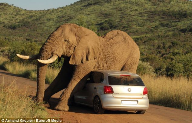 The elephant was thought to have been on musth - a period of time in which its testosterone levels skyrocket