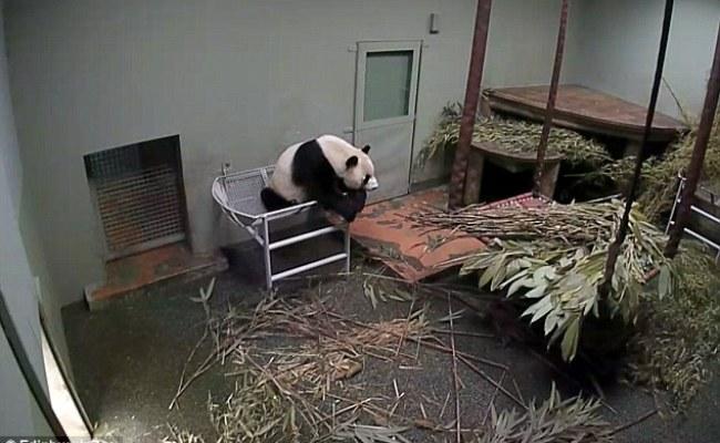 Edinburgh S Giant Panda Tian Tian Is Pregnant Say Zoo