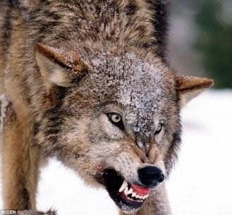 dominantwolf
