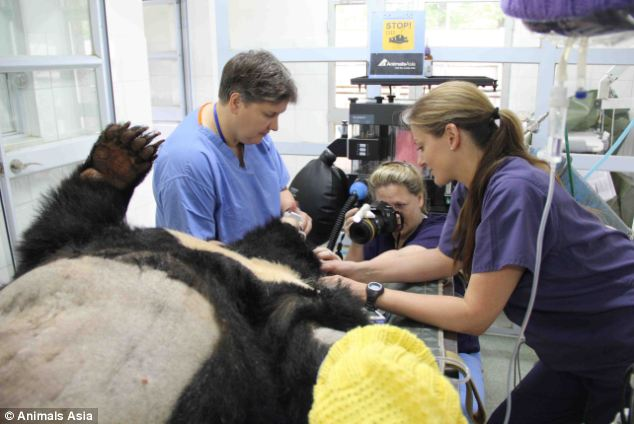 At work: Claudia Hartley takes retinal photographs of a bear with veterinary nurse Sarah Blachard, right, and veterinary ophthalmologist Rachael Grundon before performing cataract surgery