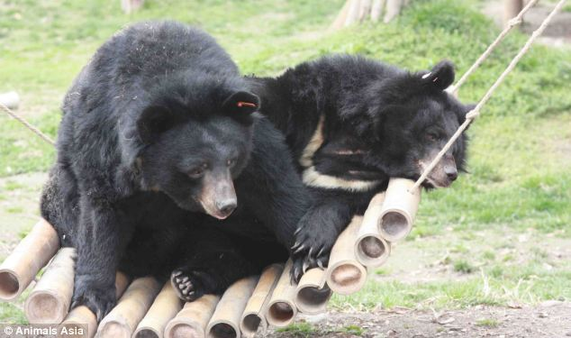 Better life: Two of the bears rescued from the unspeakably cruel bear bile trade. They are kept locked in tiny cages for years while the product of their gallbladder is harvested to be used in traditional Chinese medicine