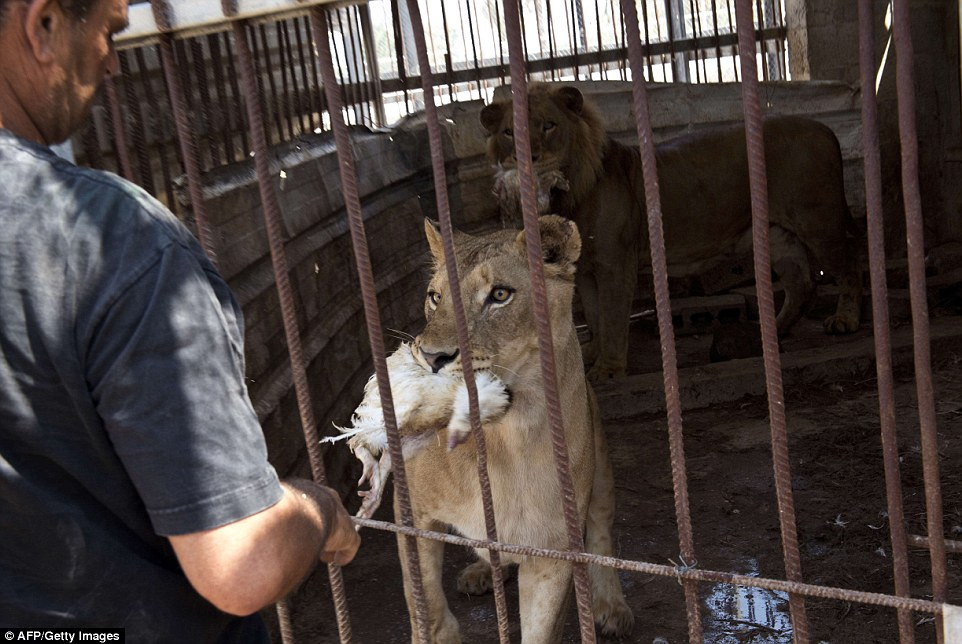 Farid al-Hissi feeds the lioness and the lion in their cage.The animals were caught in the crossfire in over a month of fighting between Israel and Palestinian militants