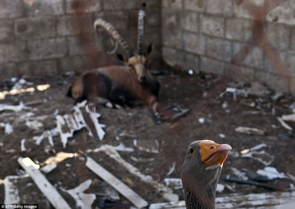 Bizarre cell-mates: A gazelle shares a pen with a goose.The animals were all smuggled through tunnels that connected Egypt to Gaza