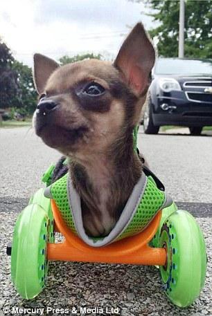 Filhote de cachorro Chihuahua Turbo-Roo foi dado por seus proprietários originais depois de ter nascido sem as patas dianteiras