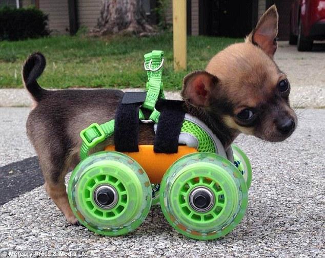 Turbo foi adotada pelo técnico veterinário Ashley Looper que originalmente equipados-lo com um conjunto de rodas de brinquedo, mas lançou uma campanha online para ter um bom conjunto de rodas feitas