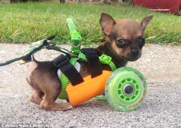 Turbo foi equipado com um arnês de corpo 3D impressa com um par de rodas de skate ligado, mas ainda lutava para andar usando-o como ele caiu na parte de trás