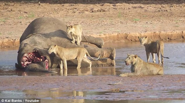 Three hungry lionesses square up to croodile in fight over