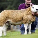 World's most expensive sheep sells at £365k at Scottish auction