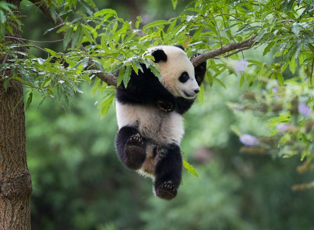 National Zoo celebrates pandas first birthday  Daily