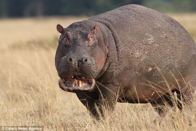 Angry hippo turns the tables on pride of lions as it fends