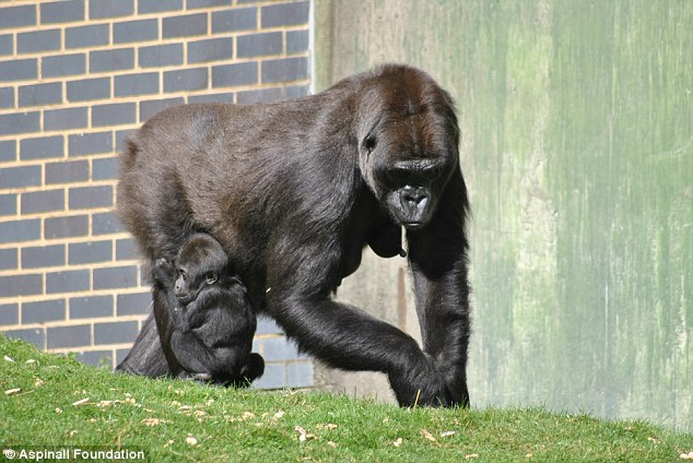 27-year-old Mumba (pictured) was one of the five female gorillas that was found dead earlier this month