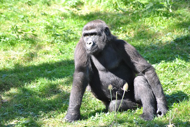 Djongo also survived and remains at thevast wildlife reserve run by the Aspinall Foundation in Gabon