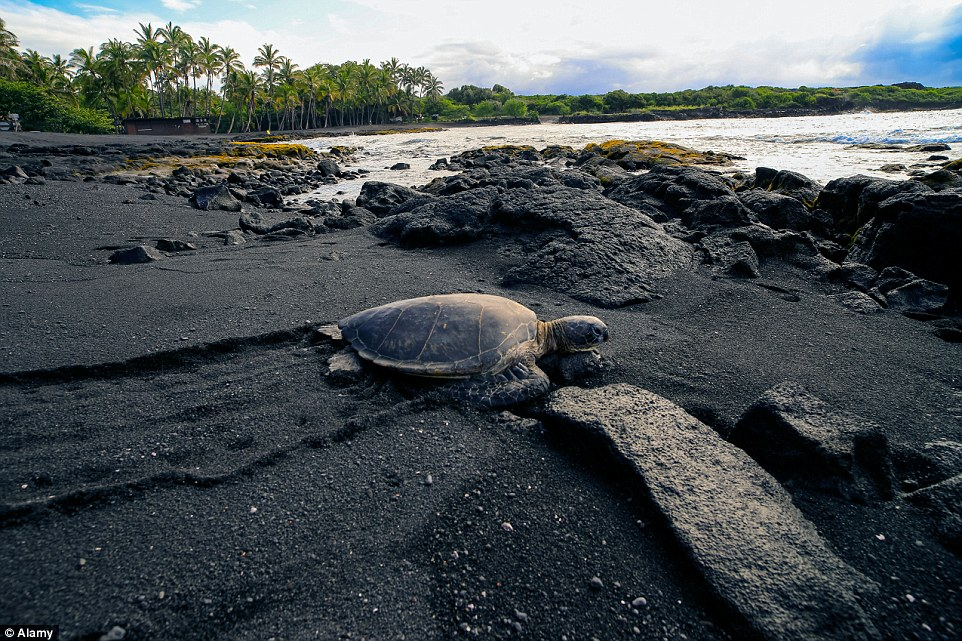 Looks like tar: The black sand on Punaluu Black Sand Beach in Hawaii is created when basalt lava flows into the ocean and rapidly cools
