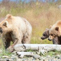 "Grizzly Bear ""Supermom' Adopts Second Cub"