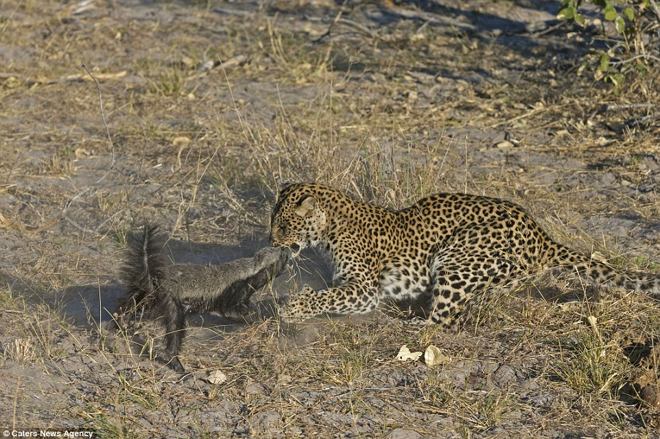 Nip: Captured on camera by Dutch wildlife photographer, Vincent Grafhorst, 40, in Botswana, Africa, the leopard decided to give up on its lunch after receiving some nasty injuries.