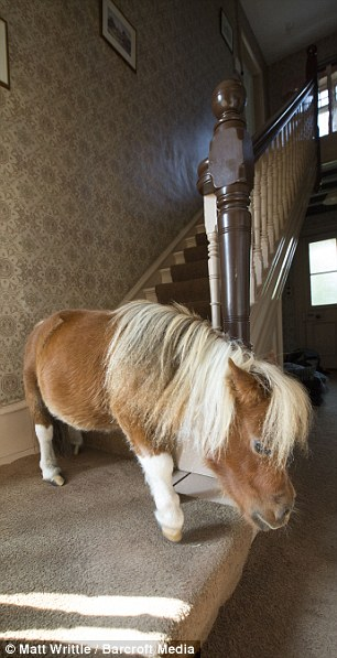 Hes one of the family At 22in the tiny horse who has