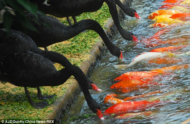 black swans take up