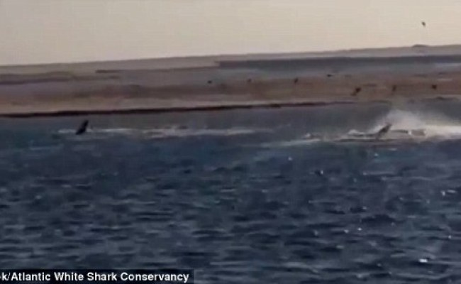 Video Shows Two Great White Sharks In The Waters Off Cape