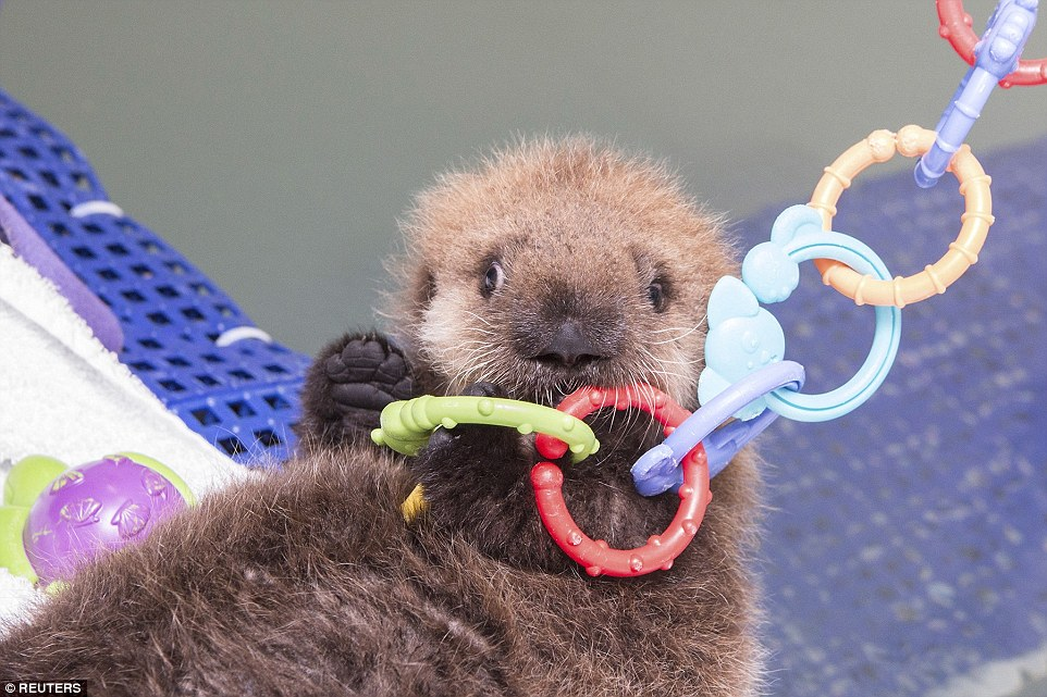 A sea otter that was discovered all alone on a California beach when it was just 1 week old has been nursed back to health