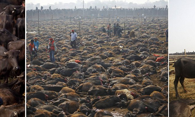 Nepals Hindu devotees slaughter thousands of animals in