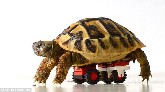 Boa Wheely: Lâmina leva um movimento para ajustar a sua cadeira de rodas Lego; a tartaruga foi equipado com o dispositivo após um distúrbio de crescimento deixou suas pernas à fraca para segurar seu peso