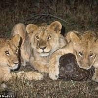 Pangolin Survives Lion Pride Attack
