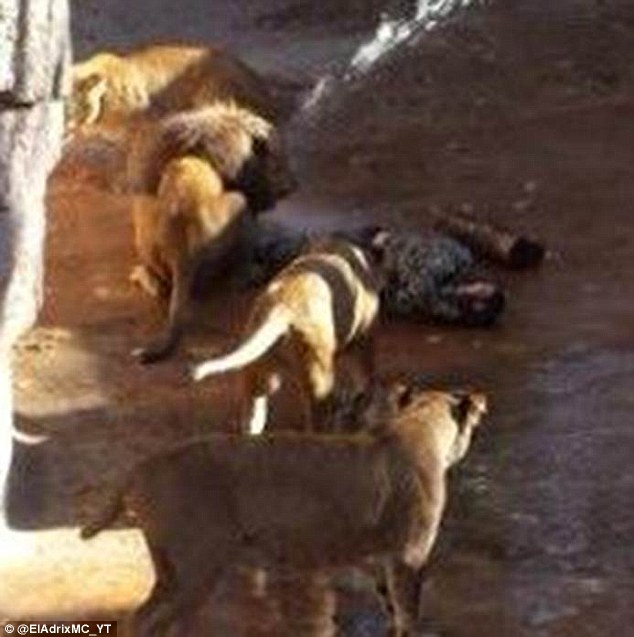 Former police chief mauled by lions at Barcelona zoo after he jumped into enclosure