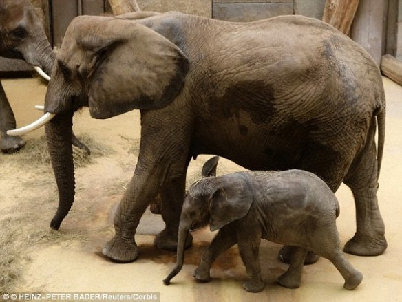 Heavily pregnant elephants have been known to eat the plant boraginaceae, which is not part of their regular diet. The same plant is used by women in African regions to induce labour, and it is believed elephants eat the plants to have the same effect