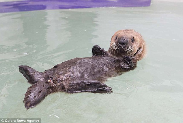 Luna takes to the water for the first time at the Shedd Aquarium in Chicago