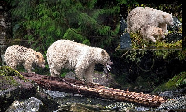 Rare albino bear spotted teaching her cub how to catch a fish  Daily Mail Online