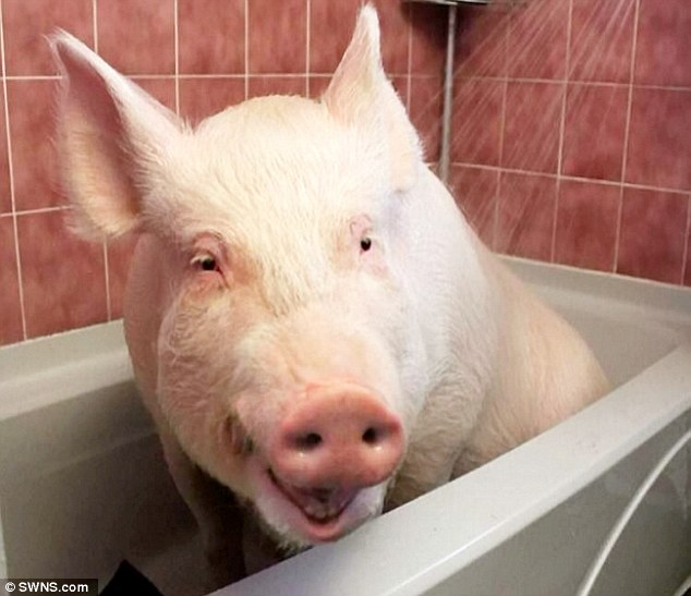 Esther the Wonder Pig is now the size of a POLAR BEAR  Daily Mail Online