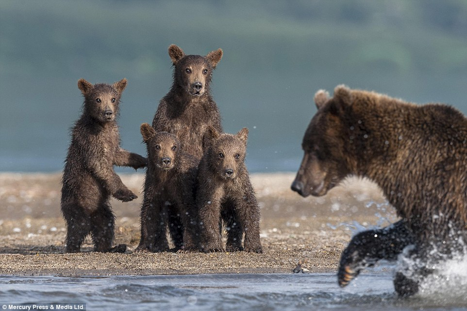 Catch and kill: The baby bears are transfixed by their mother's hands-on approach to finding their lunch at Kuril Lake in Russia