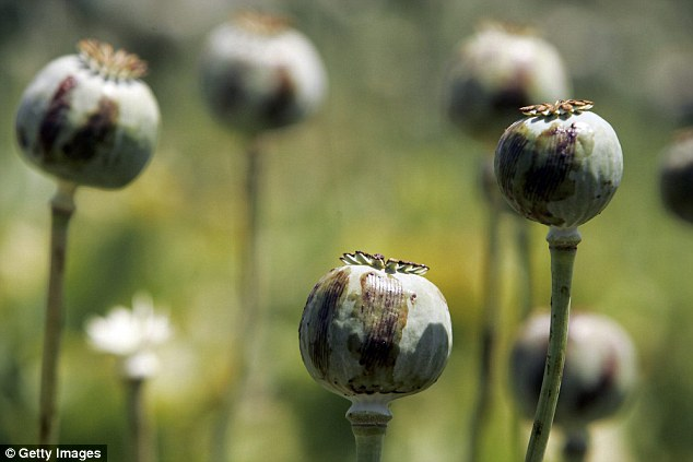 Opium poppies, like those above, were among the earliest psychoactive plants to have been grown by humans