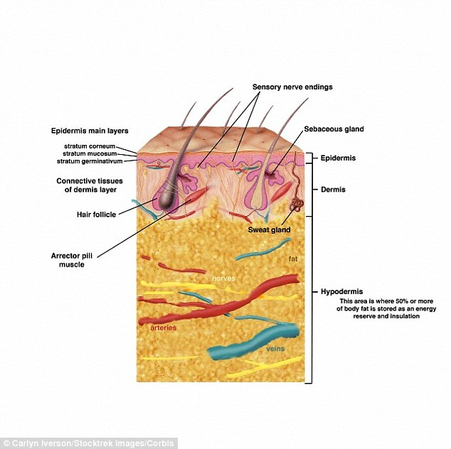 dermis layer diagram rcd circuit breaker wiring could skin from dead people heal wounds faster? cadaver ...