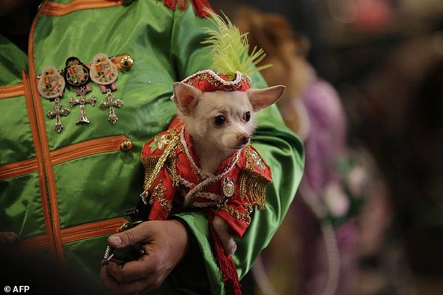 Dressed to the nines: An elaborately attired dog is pictured backstage during the New York Pet Show, which took place on Thursday night during Fashion Week