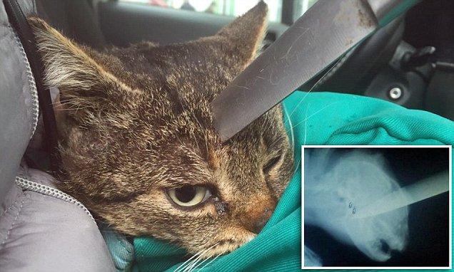 Stray cat escapes death after being stabbed in the head