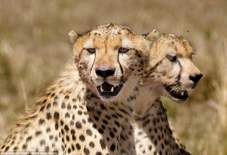 Optical Illusion Wallpaper Hd Cheetahs Are Joined At The Neck In Pictures Taken From A