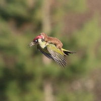 """Mind-Blowing"" Photo of Weasel Riding a Hummingbird"