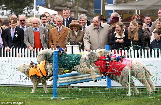Charles and Camilla were seen enjoying themselves on Sunday as they watched a herd of sheep fence jumping at The Prince's Countryside Fund Raceday at the prestigious racecourse