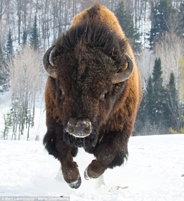 Bison decides to assert its dominance and hurtle towards