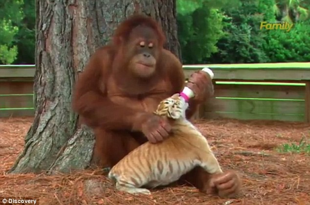 Primate babysitter: A male orangutan at a nature preserve in South Carolina has taken to spending his time with a set of baby tiger cubs, who he sometimes nurses with a bottle