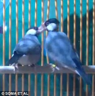 Male Java Sparrows Pictured May Click Their Bills Together With The Notes Of Their