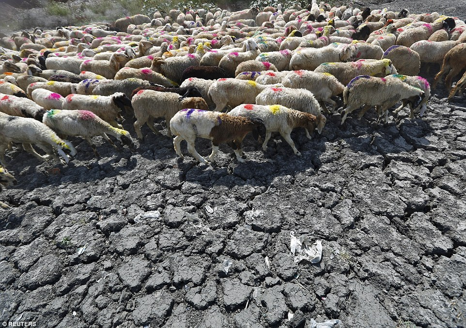 Sheep cross a parched area of a dried-up pond near New Delhi. There will be no let up in the hot temperatures at least until the end of the week, forecasters have warned